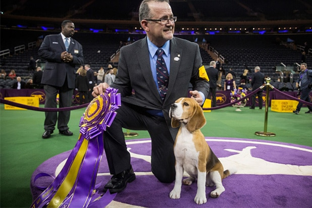 Miss P, a 15 inch beagle from the hound group, wins the Best in Show award of the Westminster Kennel Club dog show after being shown by William Alexander on February 17, 2015 in New York City. The show, which is in its 139th year and is called the second-longest continuously running sporting event in the United States, includes 192 dog breeds and draws nearly 3,000 global competitors. (Photo by Andrew Burton/Getty Images)