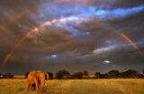 African elephant in front of double rainbow, Masai Mara, Kenya