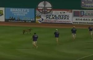 Minor League Sheep
