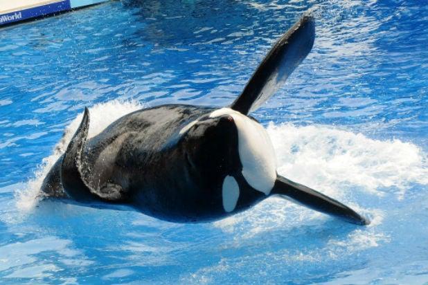 tilikum orca blackfish seaworld