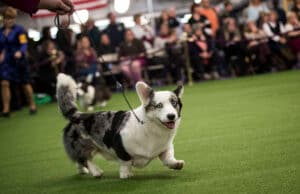 Pembroke Welsh Corgi Westminster Dog Show