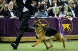 Rumor the German Shepherd Westminster Dog Show