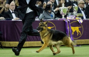 Rumor the German Shepherd Westminster Dog Show
