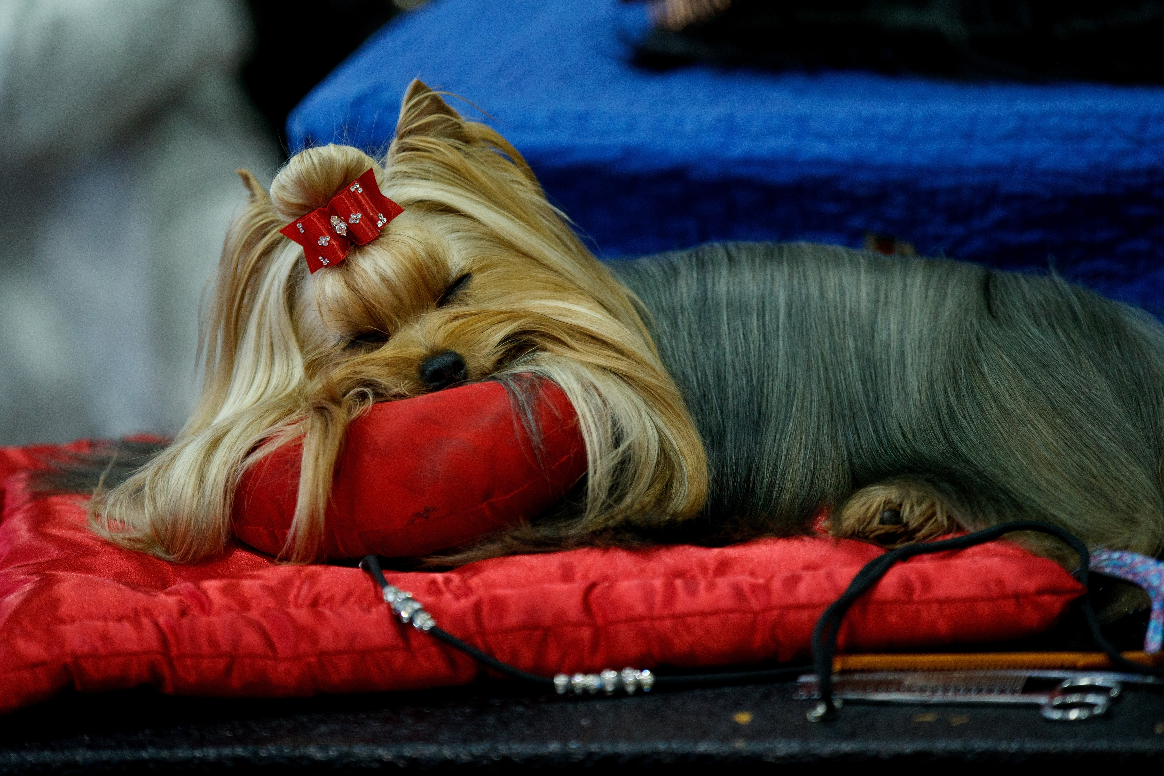 Yorkshire Terrier Sleeping Westminster Dog Show