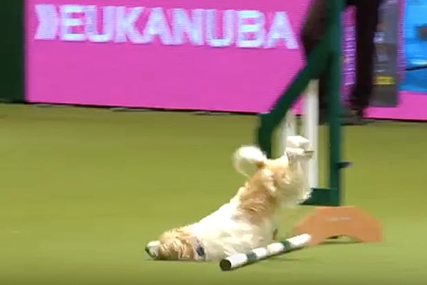 Olly the Rescue Dog Destroys Crufts Agility Course, Sends Commentator Into Hysterics
