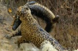 Nat Geo Wild's 'Jaguar vs. Croc'