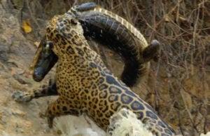 Nat Geo Wild's 'Jaguar vs. Croc'
