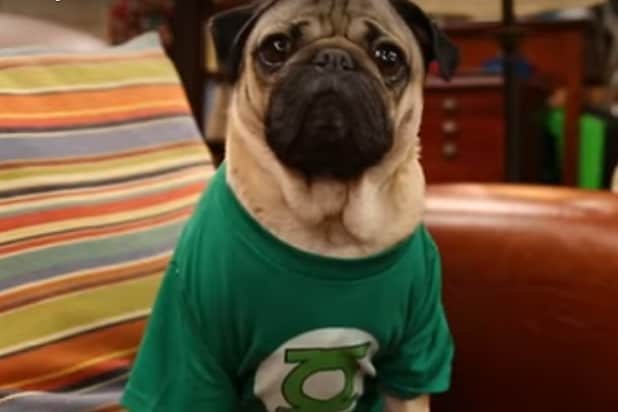 Big bang theory pug parody definitely has tongues wagging video big bang theory pug parody definitely has tongues wagging video m4hsunfo