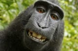 naruto monkey selfie peta planet of the apes