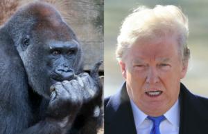 the gorilla channel trump