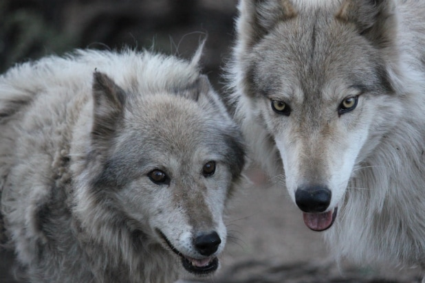 'Wolves and Warriors' - Animal Planet
