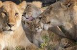 'Big Cat Legacy' - Animal Planet