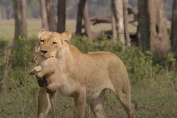 479c6416 Animal Planet's 'Big Cat Tales' Checks in With All Your Favorite Lions