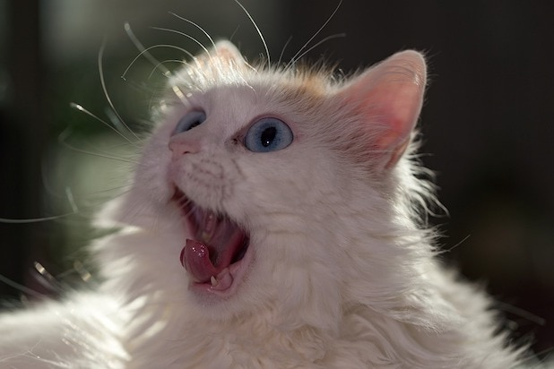 Cat BuzzFeed