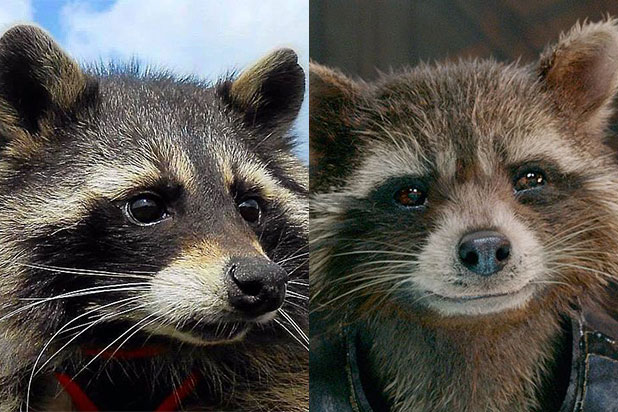 Oreo the Raccoon, Inspiration for 'Guardians of the Galaxy