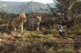 The Lion King Simba Nala Zazu