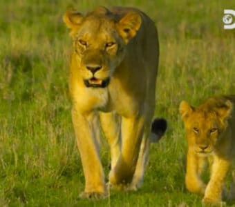 Kali and a cub on Discovery's 'Serengeti'